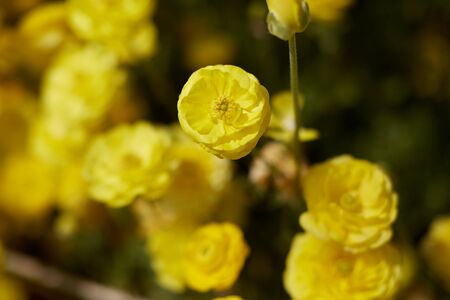 yellow ranunculus field in Israel. Persian buttercup blooming flowers Stock fotó