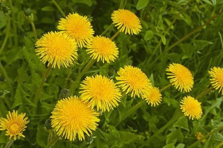 Bright flowers - spring dandelions on a solar glade against a grass photo