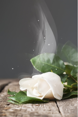 Fragrant Magic White Rose on the Wooden Table with Dark  Background photo