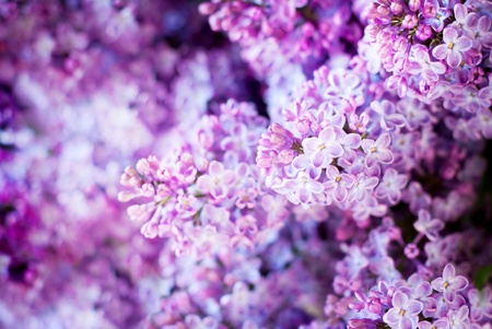 fragrant bouquet: Floral Spring Background with Lilac, selective focus