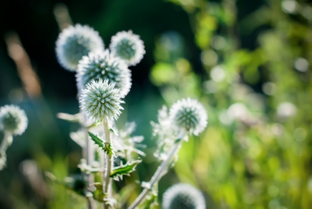 poky: Ball of Thorny Wildflower, nature background