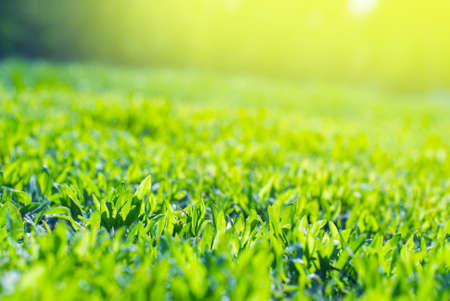 soggy: Close up of Field Grass in sun rays Stock Photo