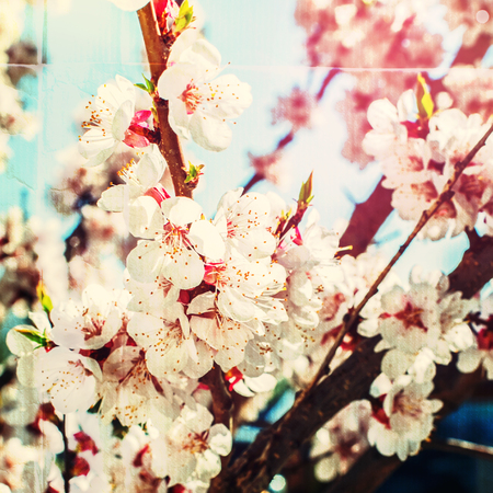 Blossoming of White Cherry in Nature. Natural background. Effect of printed old paper photo