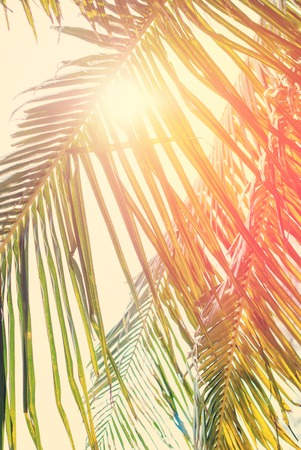 california beach: Foliage of Coconut palm tree with Retro Filtered, as Background for Travel Holiday Cards. With Sun across Leaves