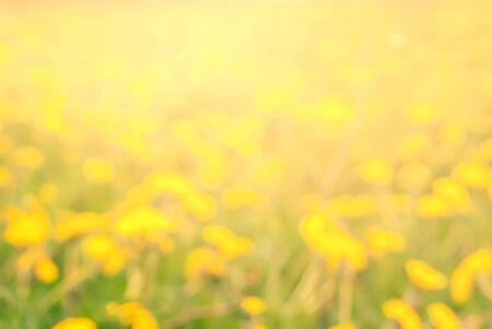 flowers bokeh: Yellow Blossoming Dandelions Bright Summer Day Natural Flowers Bokeh Defocused Background Pastel Color Stock Photo