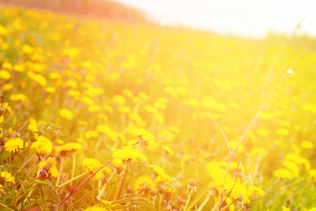 Meadow Yellow Blossoming Dandelions Flowers Bokeh Toned Effect Wild Nature Background