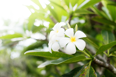 White Frangipani Tropical Flower Plumeria Blooming Tree Natural Background