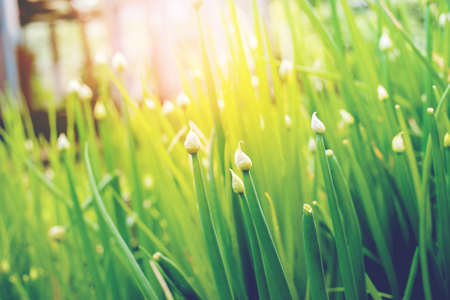 Group Green Spring Bulbs of Onions on Bed Nature Background