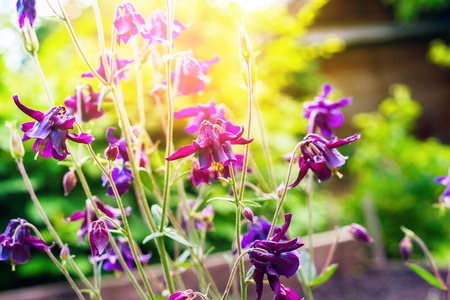 Wild Violet Garden Flowers with Sunlight Square Stock Photo