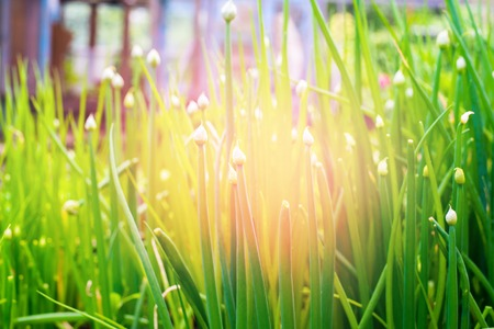 Group Green Spring Bulbs of Onions on Bed Nature Background Light Effect Stock Photo