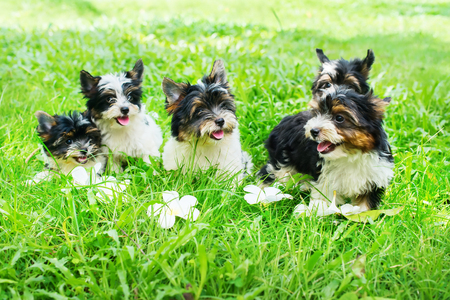 Group puppy purebred black-and-white Biewer Yorkshire terrier pet sunny day grass meadow. Small size breed of dog with long wool. Latin name Canis lupus familiaris. Origin Germany. Decorative doggie