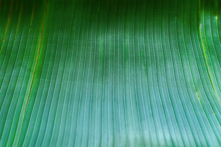 Green tropical palm leaf. Background as live organic materials for food base