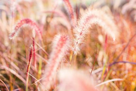 Morning light through summer gentle, fluffy, pink grass bokeh Natural