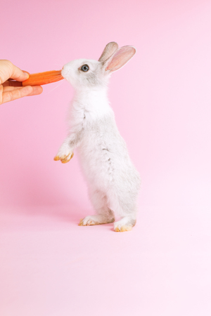 Little tame rabbit reaching of the carrot on pink