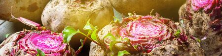 Freshly beetroots in morning light. Rustic country style. Natural organic vegetables food. Autumn harvest. Top view. Bio farm and gardening. Long banner