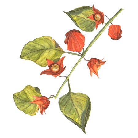 Illustration d'aquarelle d'une branche de physalis avec des fleurs d'oranger et de fruits. Fait à la main peinture. Banque d'images