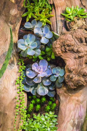 A group of beautiful succulents in a wooden decorative pot