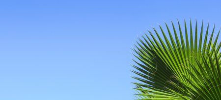 Green palm leaves on a blue clear sky background. Isolate the leaves of the date palm for the banner, advertisement, business card.