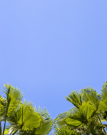 Green palm leaves on a blue clear sky background. Isolate the leaves of the date palm.