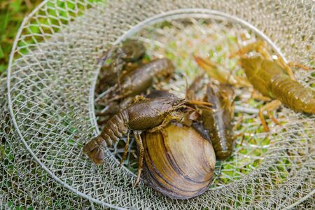 Live crayfish and mussel on the grass, caught crayfish near the cage.