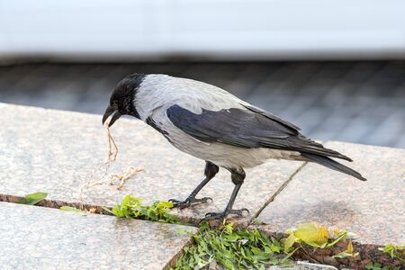 A gray crow in an urban environment, an environmental issue with ravens in the city.