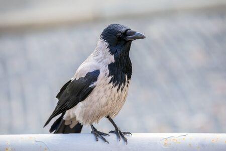 Gray crow (Corvus cornix) in a city park. On gray background. Stock Photo