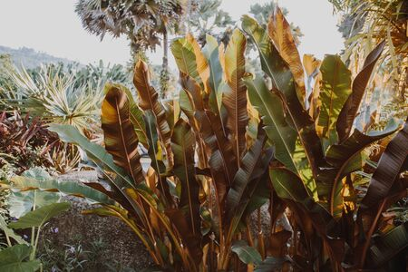 Thickets of banana trees, a beautiful tropical garden on site. Toned filter image. Creative tropical leaves layout. Zdjęcie Seryjne