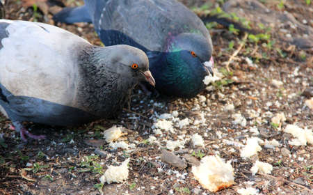 Hungry pigeons on the street eat bread crumbs.