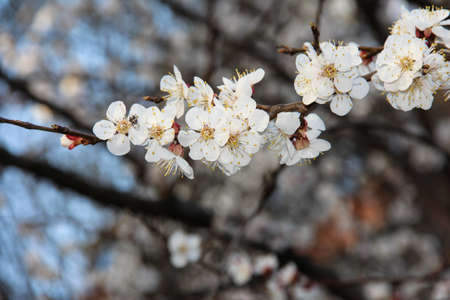 A branch of a flowering apricot. Fruit tree flowers against the sky. Stockfoto
