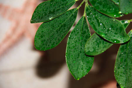 Green wet leaves. A plant with dew drops. Stockfoto