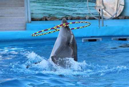 Dolphin spinning hoop in the pool Stock Photo