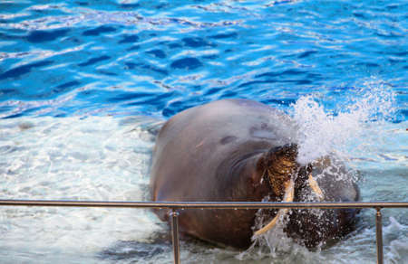 A large walrus is doused with water.