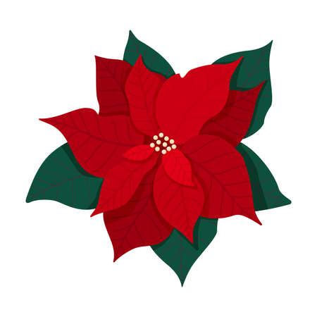 Traditional Christmas poinsettia flower with green leaves and red petals. Christmas flower blooming plant isolated on white background. Vector illustration