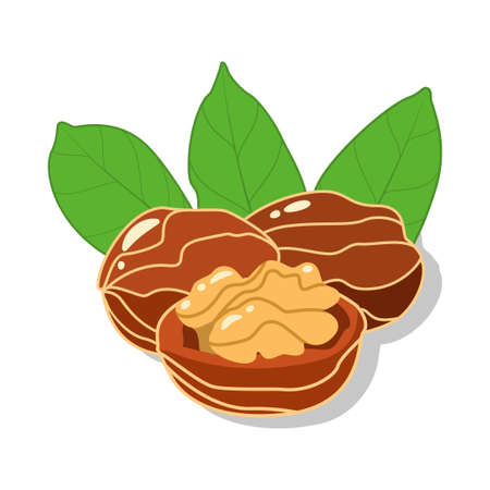 Fresh Walnuts and cracked walnut with green leaves in cartoon style isolated on white background. Vector illustration