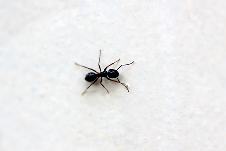 Ants are eusocial insects of the family Formicidae and, along with the related wasps and bees, belong to the order Hymenoptera. Stock Photo