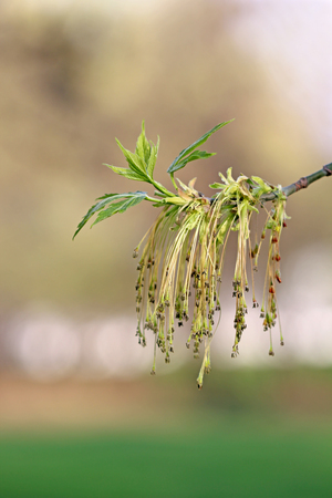 ash: Male flowers of maple ash Stock Photo