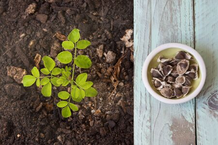 A moringa plant in the ground, next to it moringa seeds on a green table. Top view - Moringa Oleifera