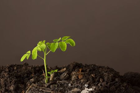 A moringa plant in the ground with a brown background - Moringa Oleifera