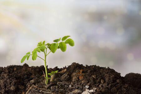 A moringa plant in the ground with a light colored background - Moringa Oleifera Banco de Imagens