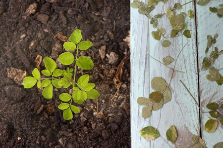 A moringa plant in the ground, next to it dried moringa leaves on a green table. Top view - Moringa Oleifera