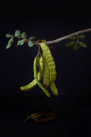 In the foreground, carob pods, hanging on a twig. All on black background. Montuiri, Mallorca, Spain Banco de Imagens