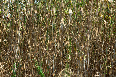 The wild reedbed in the Natural Park of s'Albufera, is a dense vegetation that serves as protection for many species of birds that nest or sleep there. Banco de Imagens