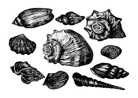 cockleshell: Vintage hand drawn collection of various seashells. Isolated on the white background. Vector illustration.