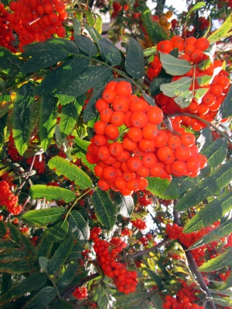 Rowan tree  Red berries as heart  Autumn garden with fruiters  Raster image of a nature  photo