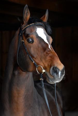 caballo negro: Retrato de hermosos caballos sobre fondo oscuro