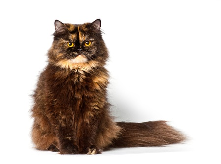 grand persian tortie cat on the white background