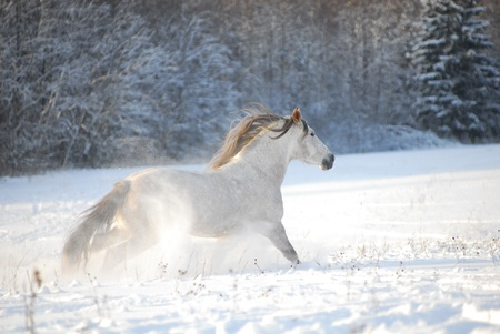 Grey andalusian horse through gallops the snow