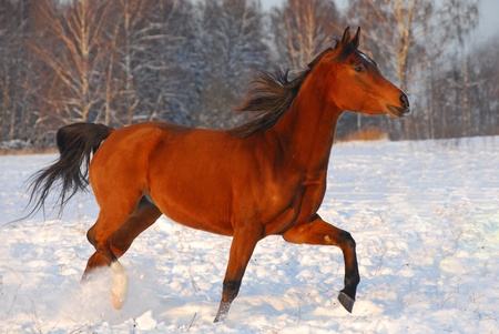 Proud red arabian horse on a snow-covered field in sunset light photo