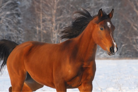 Beautiful red arabian horse on a snow-covered field in sunset li Stock Photo