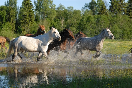Flock of horses in splashes  photo